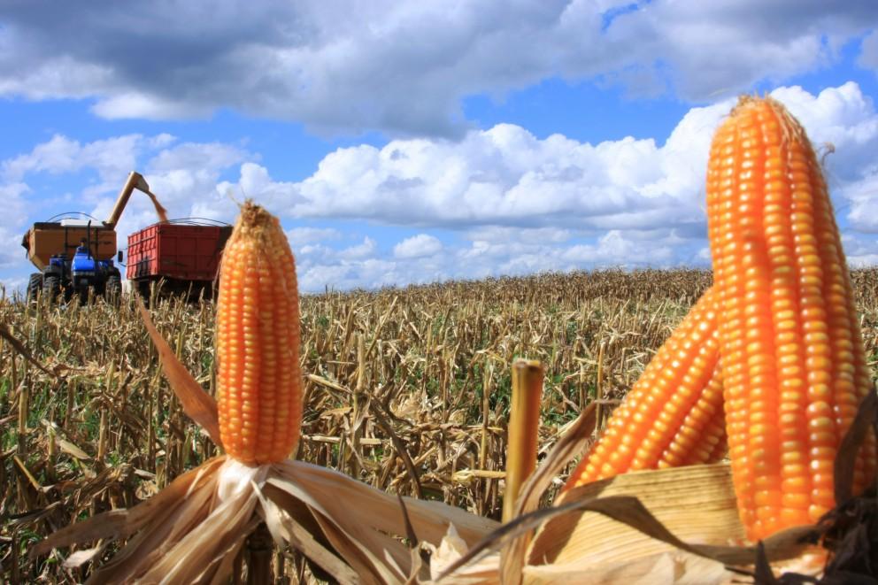 Saca do milho permanece a R$ 30 em Maringá