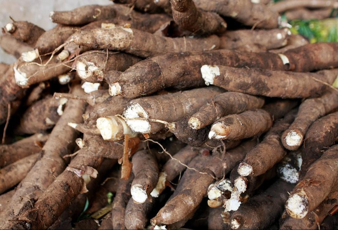 Tonelada da raiz de mandioca custa R$ 377 em Campo Mourão e Paranavaí