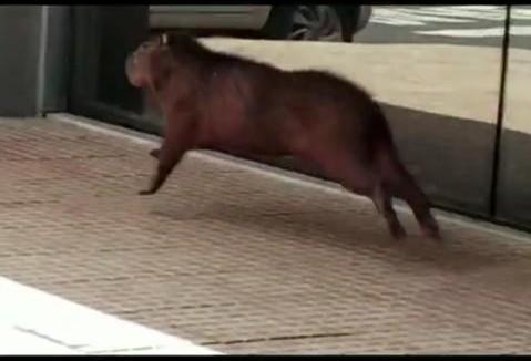 Capivara entra em shopping de Maringá