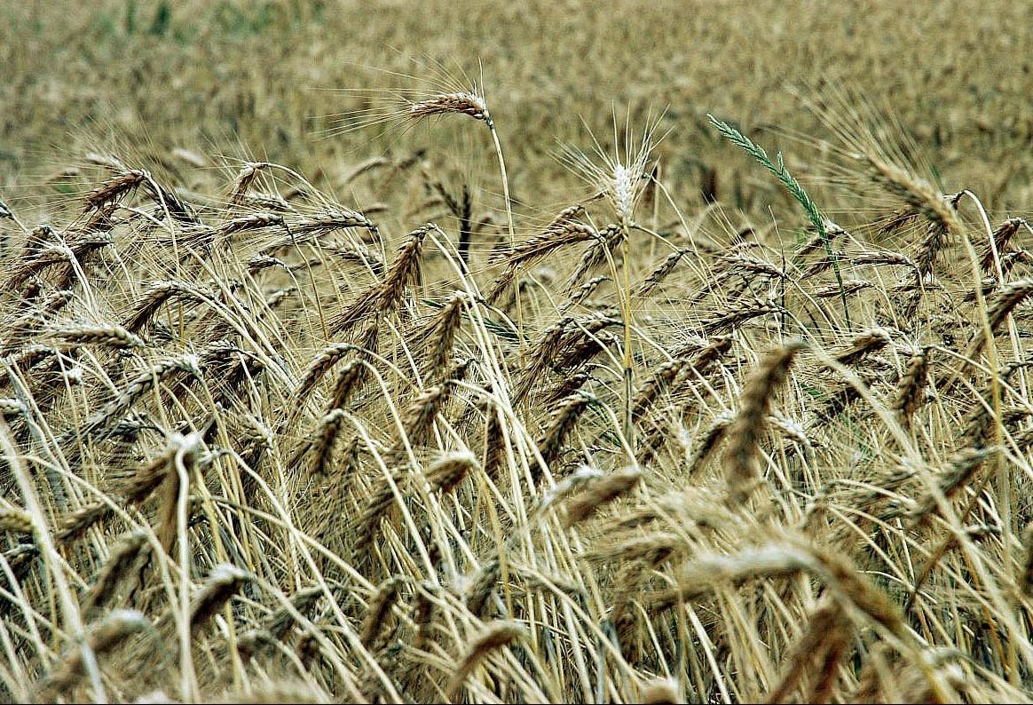 Preço do trigo segue tendência de alta e custa R$ 48 em Maringá