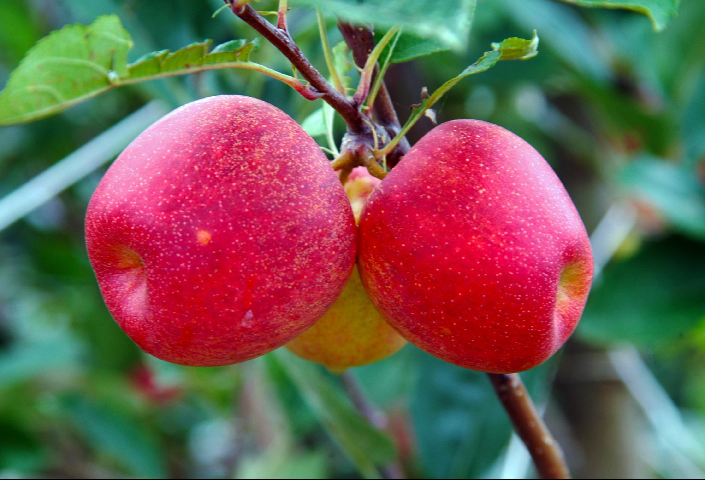 Fruticultura no Paraná produz 3,6% da nacional