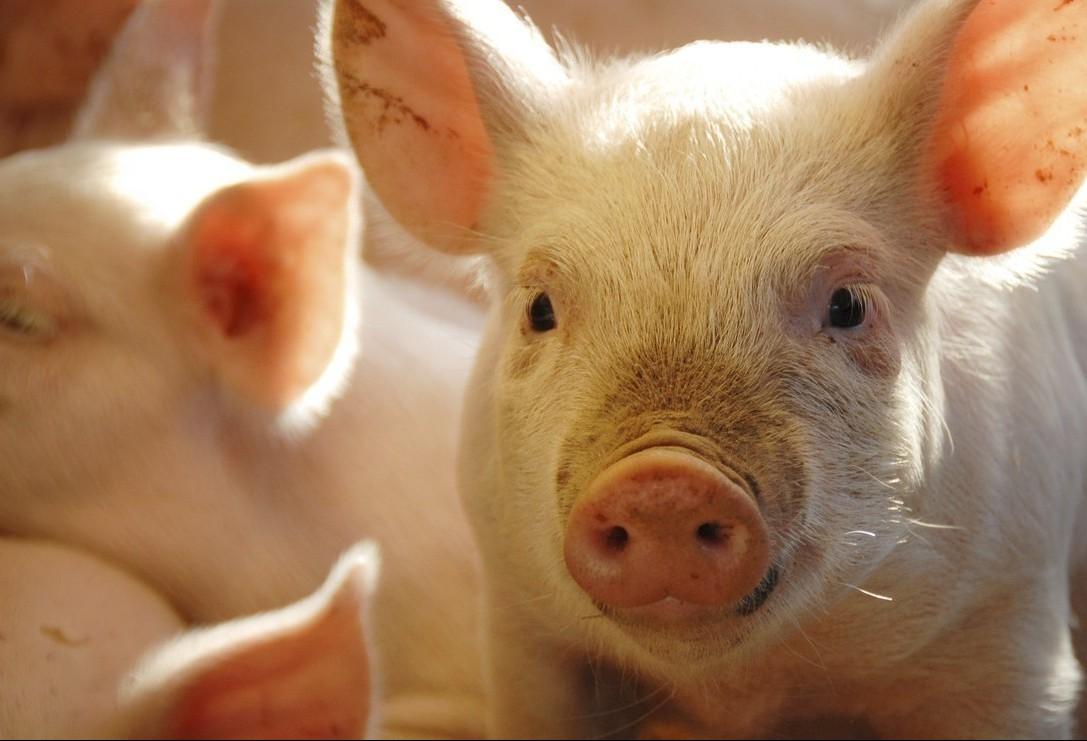 Preço do quilo do suíno segue estável em Apucarana