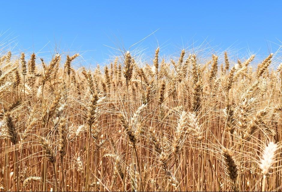 Aumento na área de produção do trigo reduz preços na primeira safra