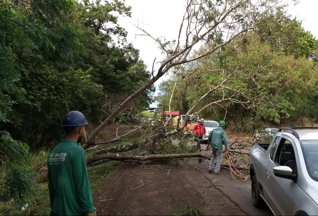 Árvore de grande porte cai na PR-317, no trevo de Iguaraçu
