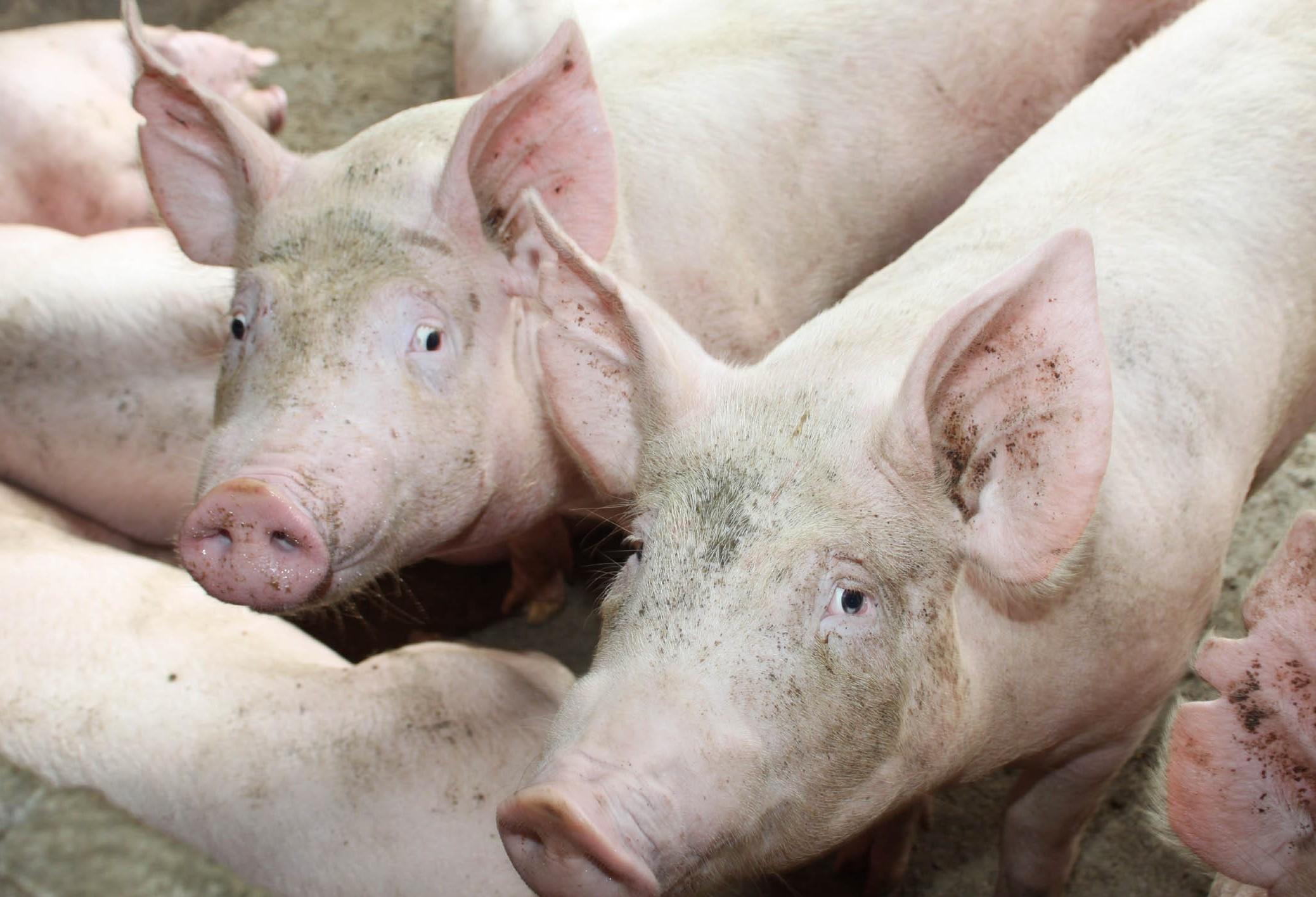 Quilo do suíno custa R$ 4,10 na região de Maringá
