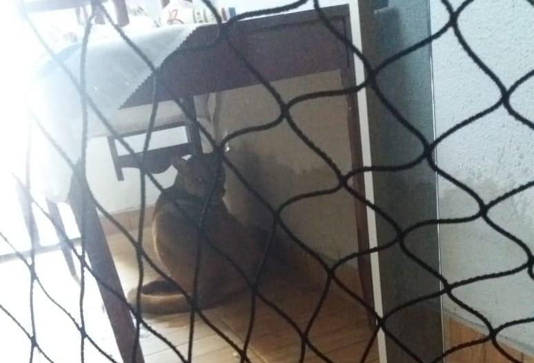 Onça parda aparece em casa e moradora pensa que é um cachorro