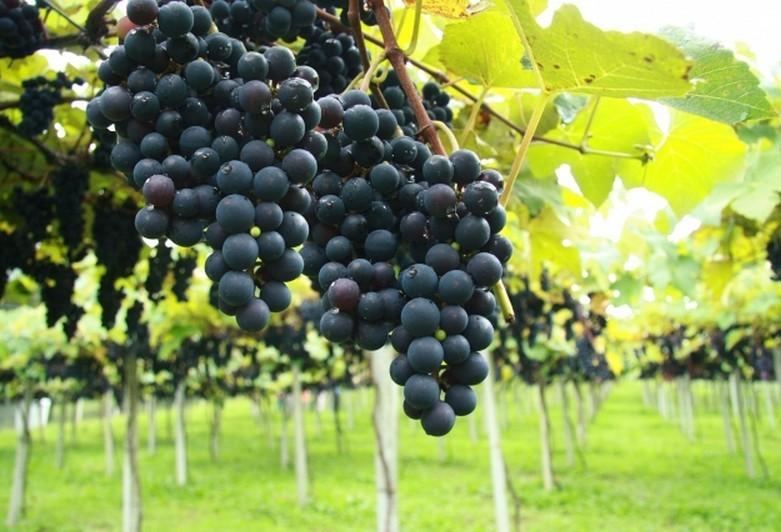 Começa colheita da uva na região