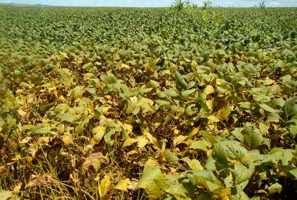 Excesso de chuva favorece aparecimento da ferrugem asiática da soja