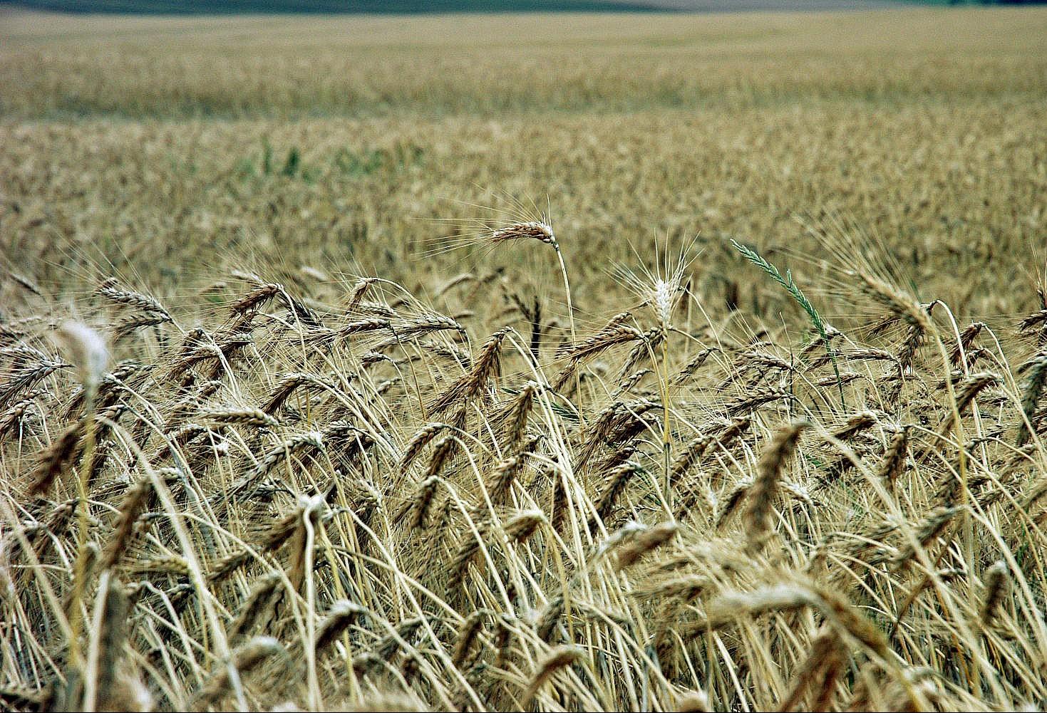 Saca do trigo custa R$ 47 na região de Maringá