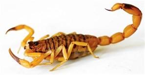Você sabe o que fazer se encontrar um escorpião amarelo na sua residência?