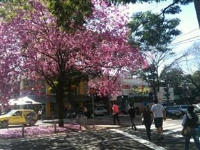 Um ipê florido chama a atenção no centro de Maringá