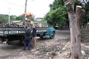 Mais de 4.500 árvores aguardam corte em Maringá