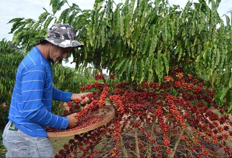Colheita do café chega a 20% no Paraná