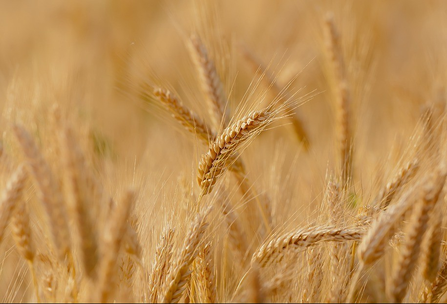 Plantio do trigo chega a 68% no Paraná