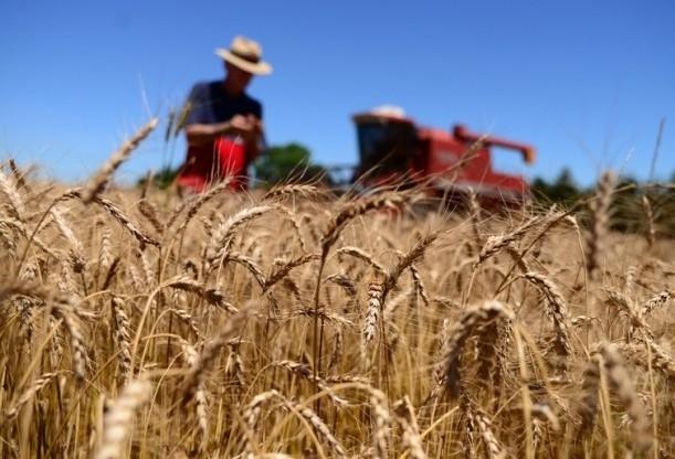 Saca do trigo custa R$ 48,00 em Campo Mourão
