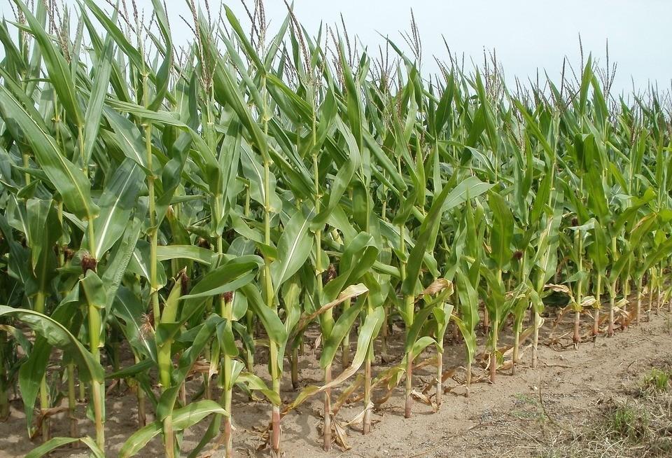 Falta de chuvas e altas temperaturas no norte estão prejudicando o milho e o trigo