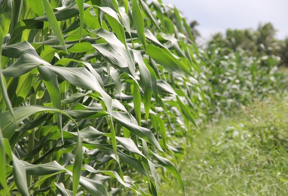 Milho de verão atinge  98% da área plantada no Paraná