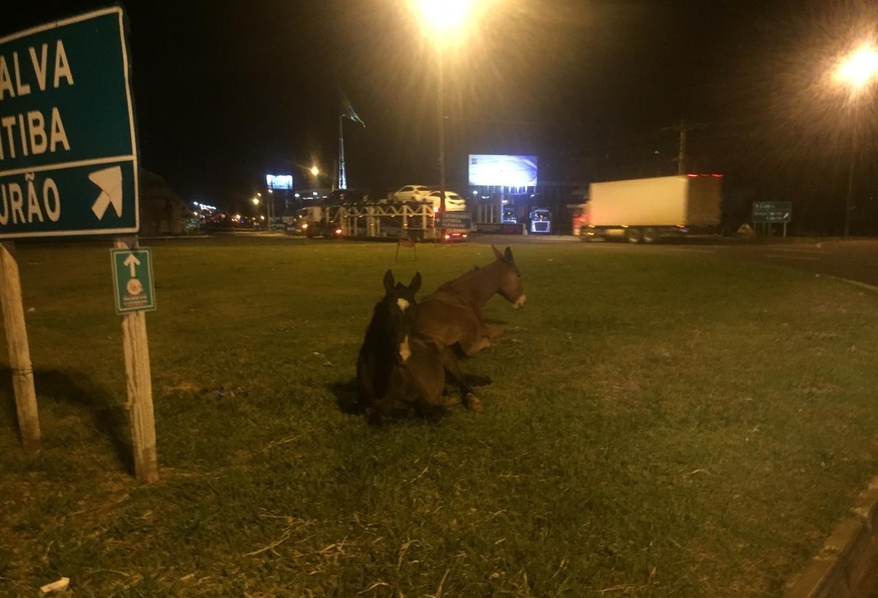 Cavalos soltos em rodovia mobilizam equipes da PRF