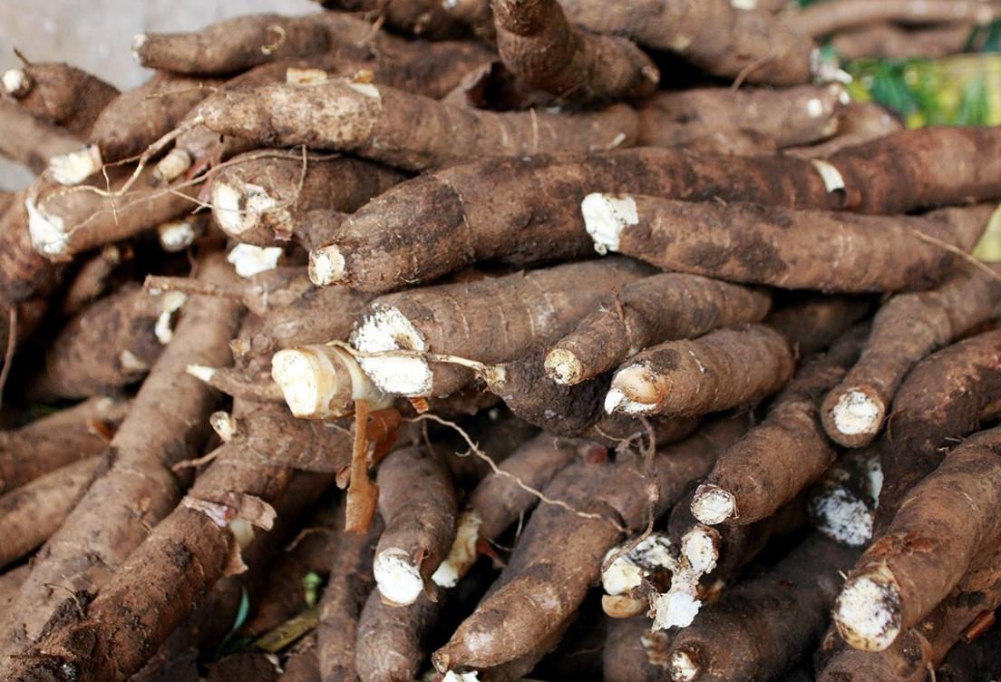 Oferta de raiz de mandioca nesta safra está reduzida