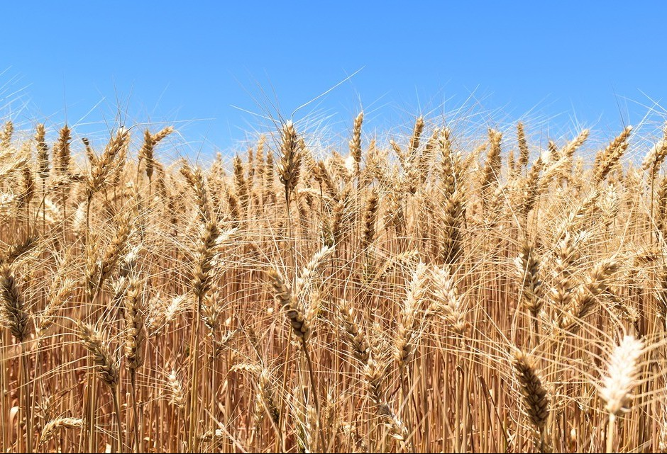 Saca do trigo custa R$ 43 em Maringá