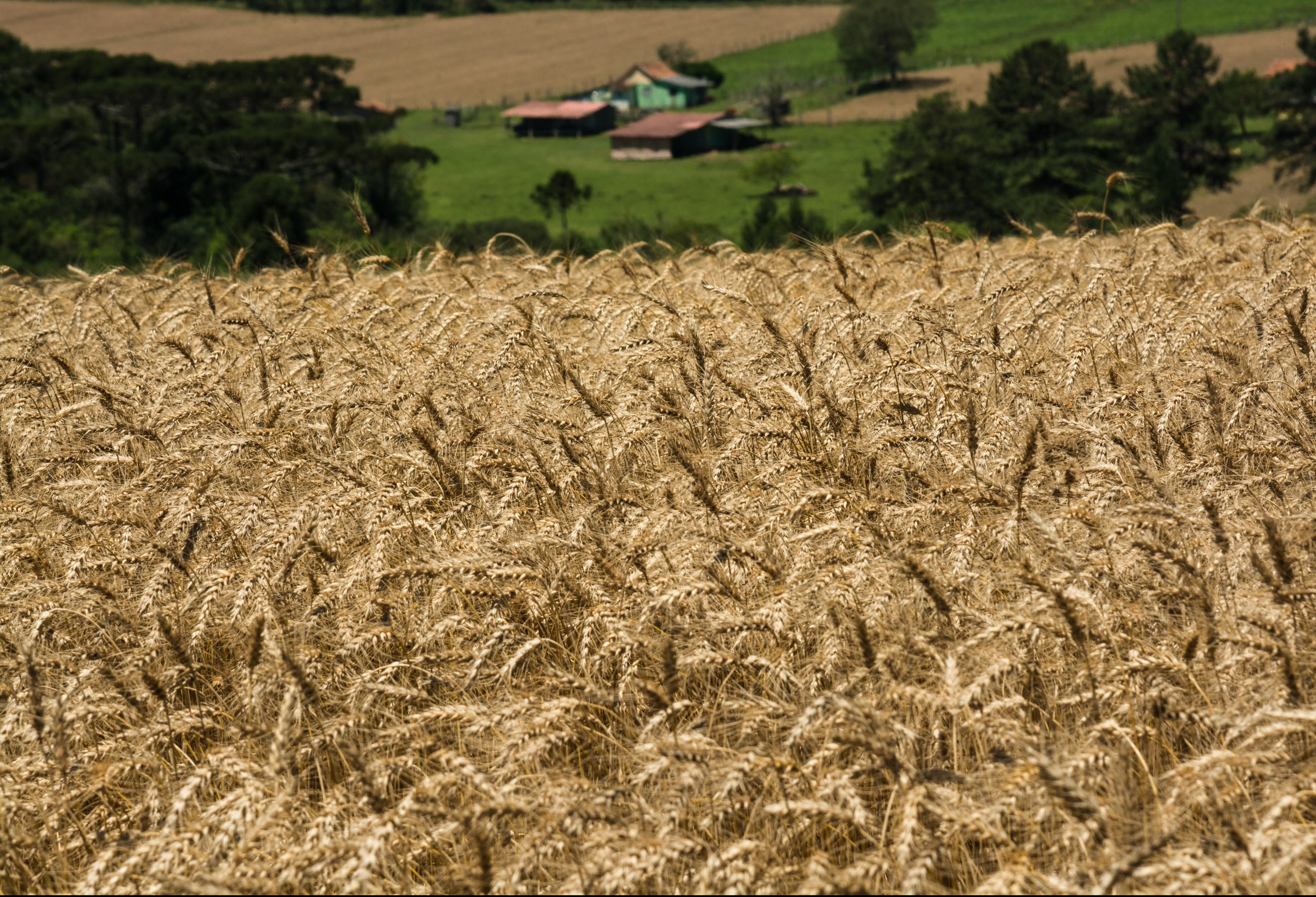 Saca do trigo custa R$ 48 na região de Maringá