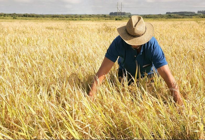 Produtores de arroz podem prorrogar dívidas