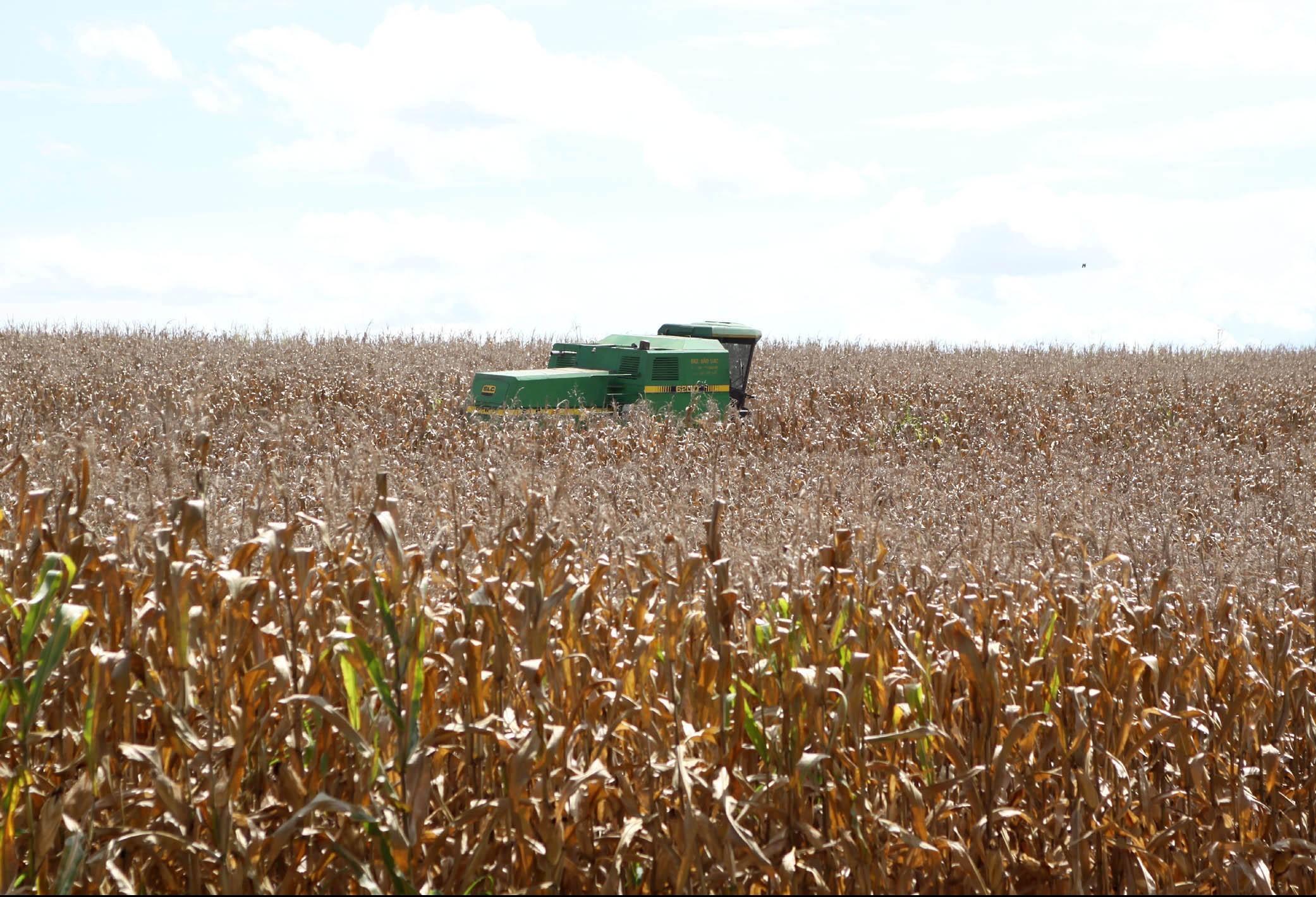 Qualidade da lavoura de milho do Paraná preocupa o setor