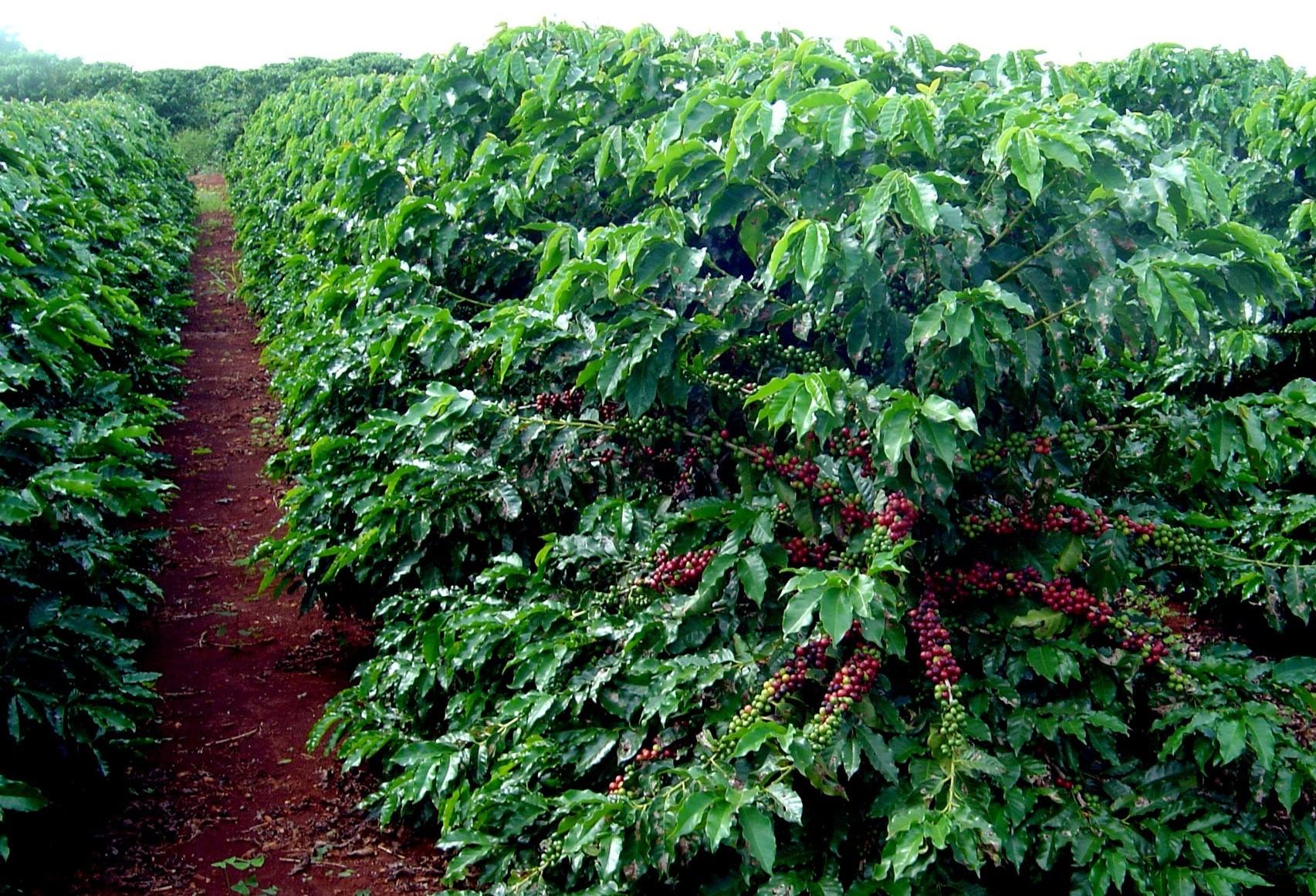 Brasil segue em 1º na produção de café no mundo