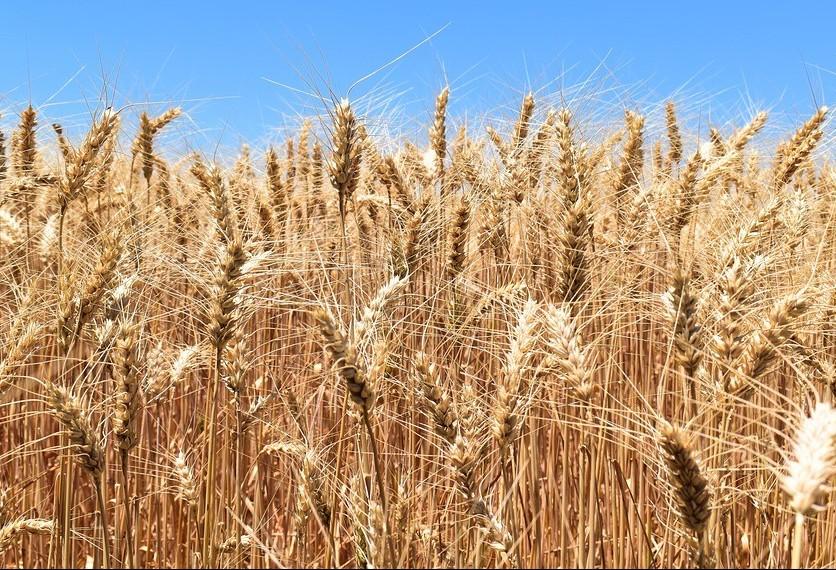 Área colhida do trigo chega a 98%