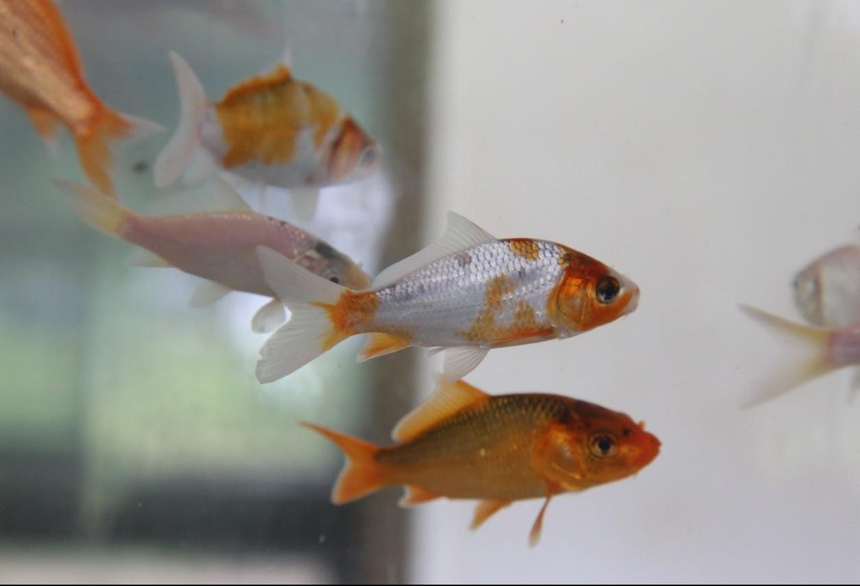 Parque do Japão promove a 1º Mostra de Aquarismo