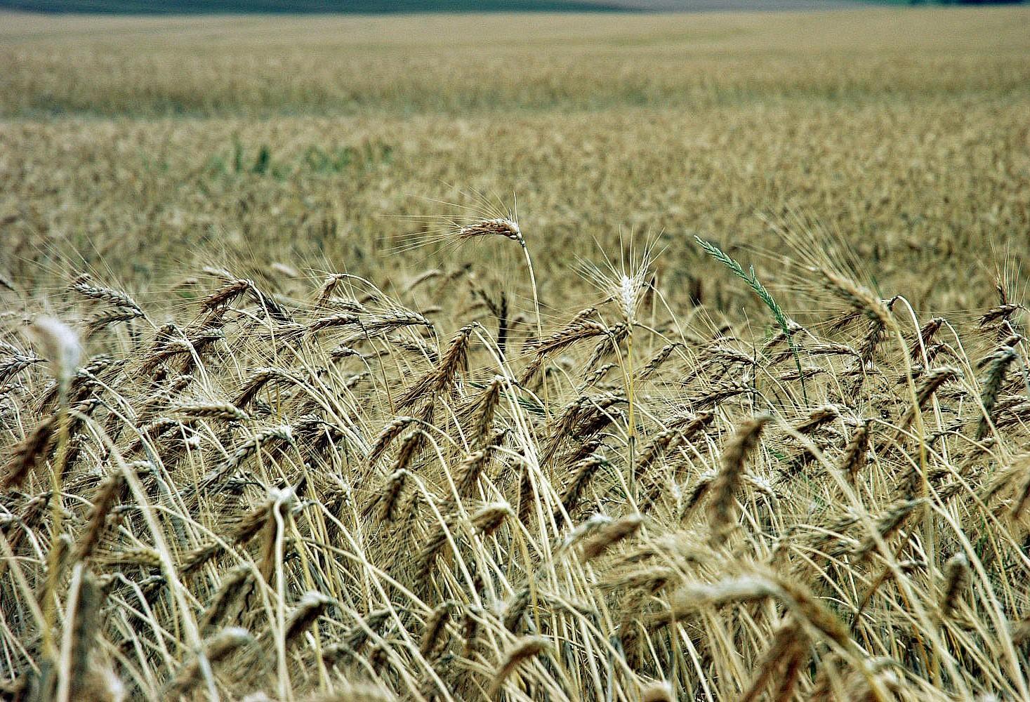 Cotações do trigo apresentam alta