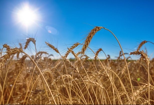 Paraná: preço médio da tonelada do trigo no 1° semestre é de R$ 881,47