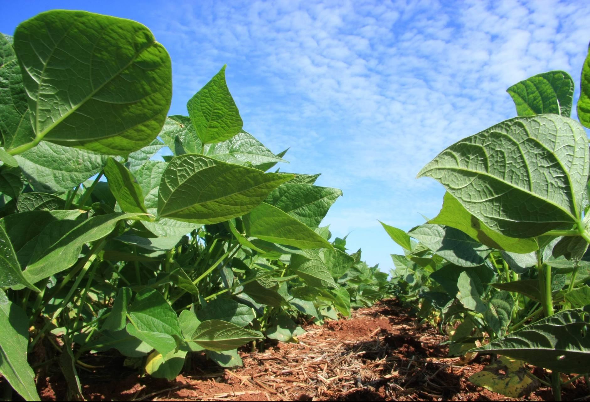 Plantio da safra de soja avança para 65% da área no Paraná