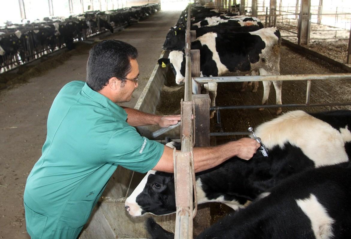 Começou a campanha de vacinação contra a febre aftosa no Paraná