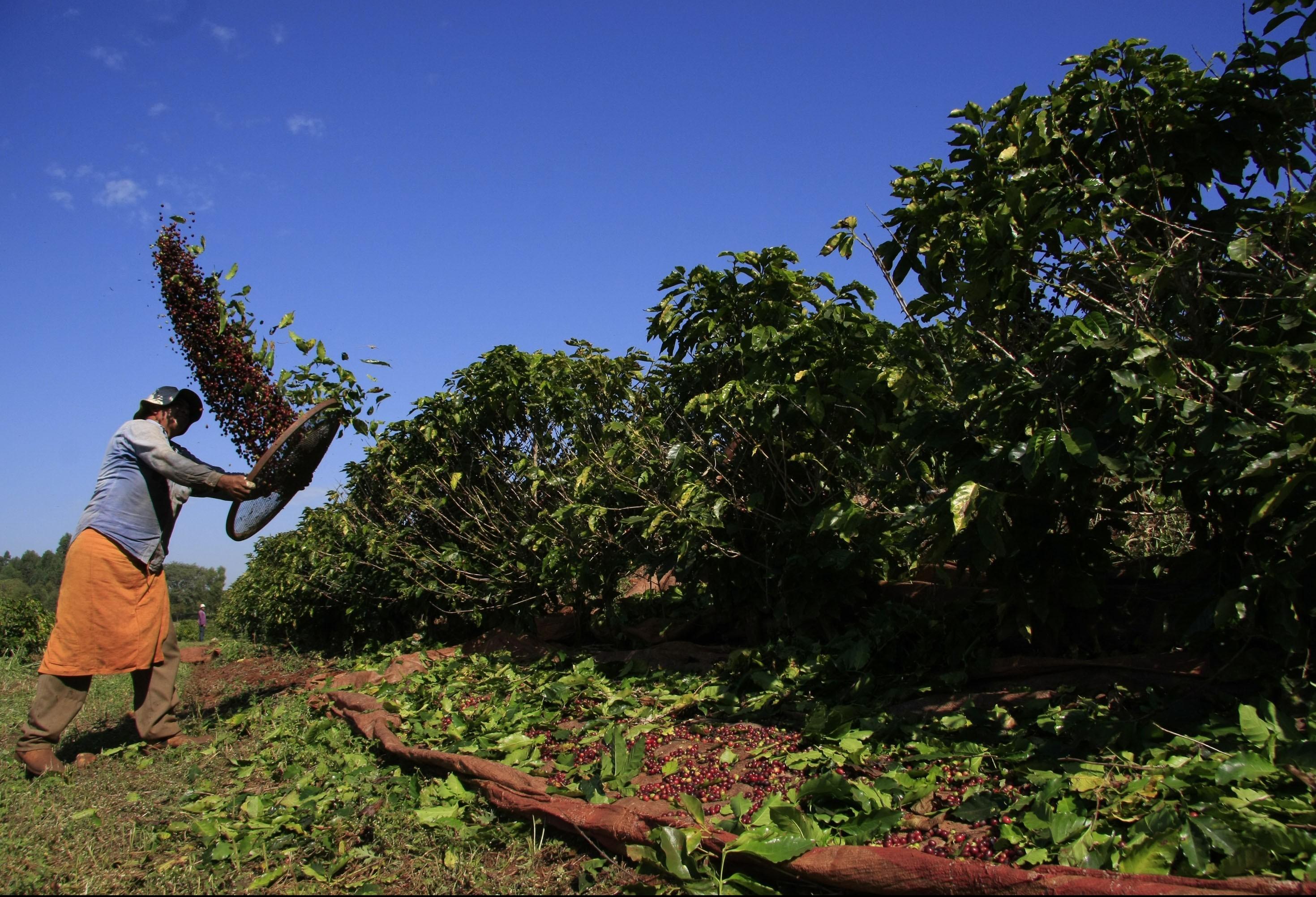 Lavouras de café na região começam a maturação dos grãos