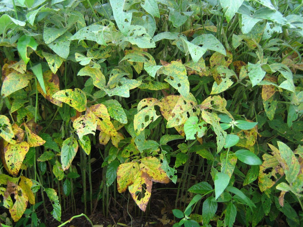 Doenças foliares começam a aparecer em lavouras de soja