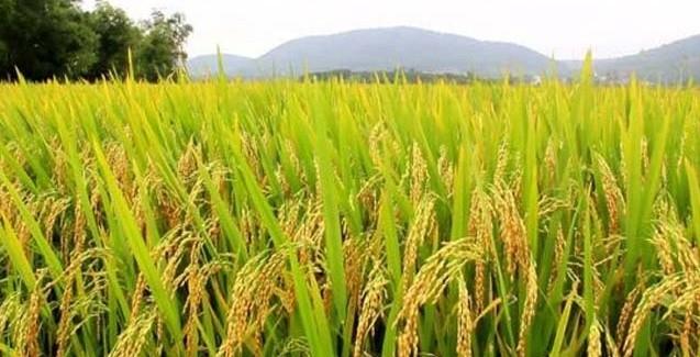 Lavouras de arroz no Paraná têm bom desenvolvimento
