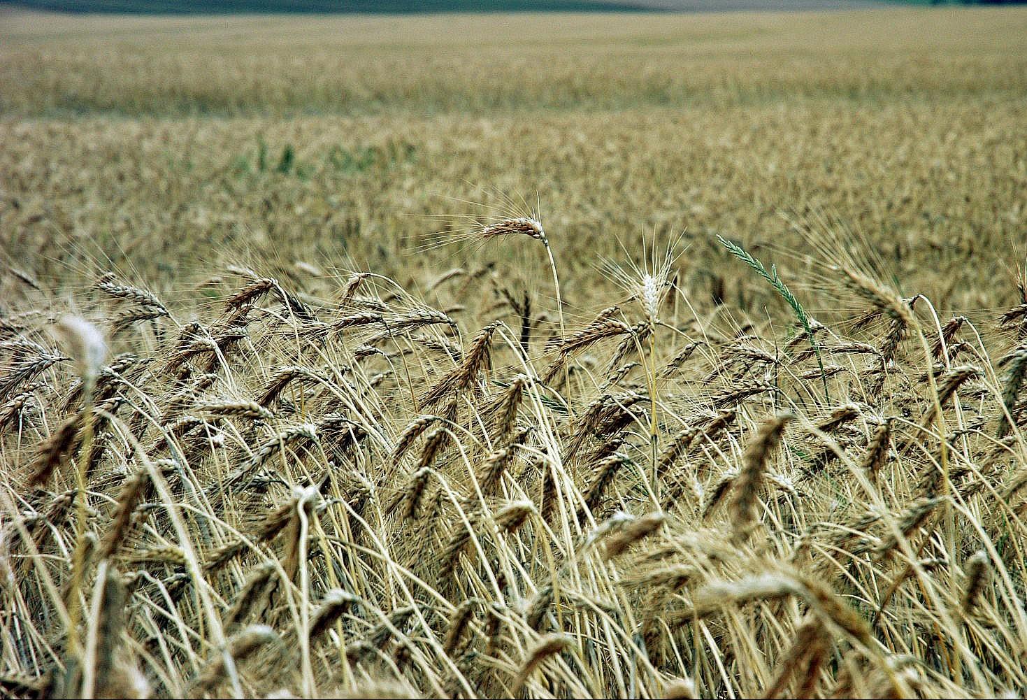Iapar realiza nova cultivar de trigo IPR Potiporã