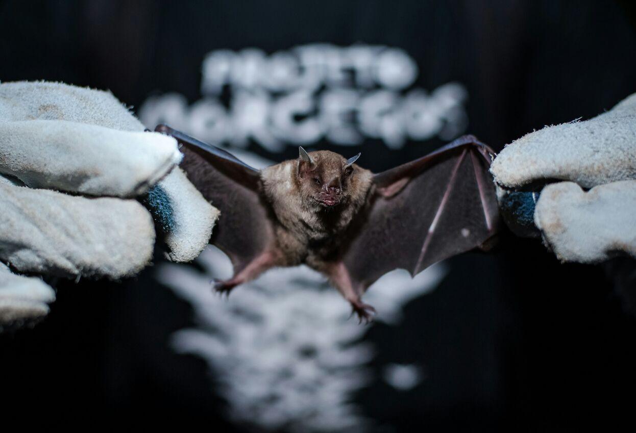 Maringá confirma segundo caso de raiva em morcego