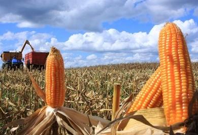 Governo confirma redução de 10% para a safra de grãos de verão 2017/18