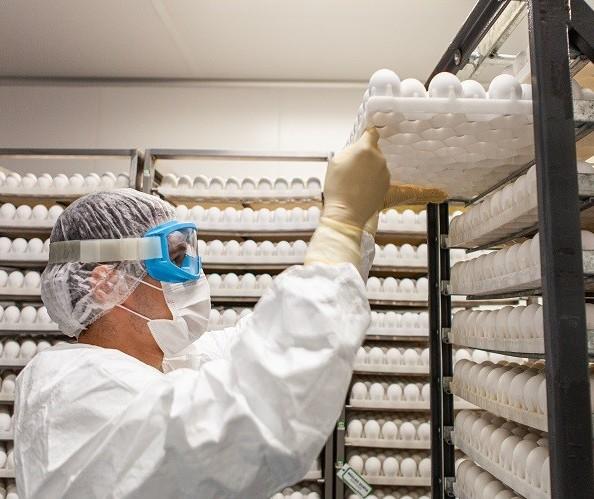 Entenda como funciona a produção de ovos para vacinas