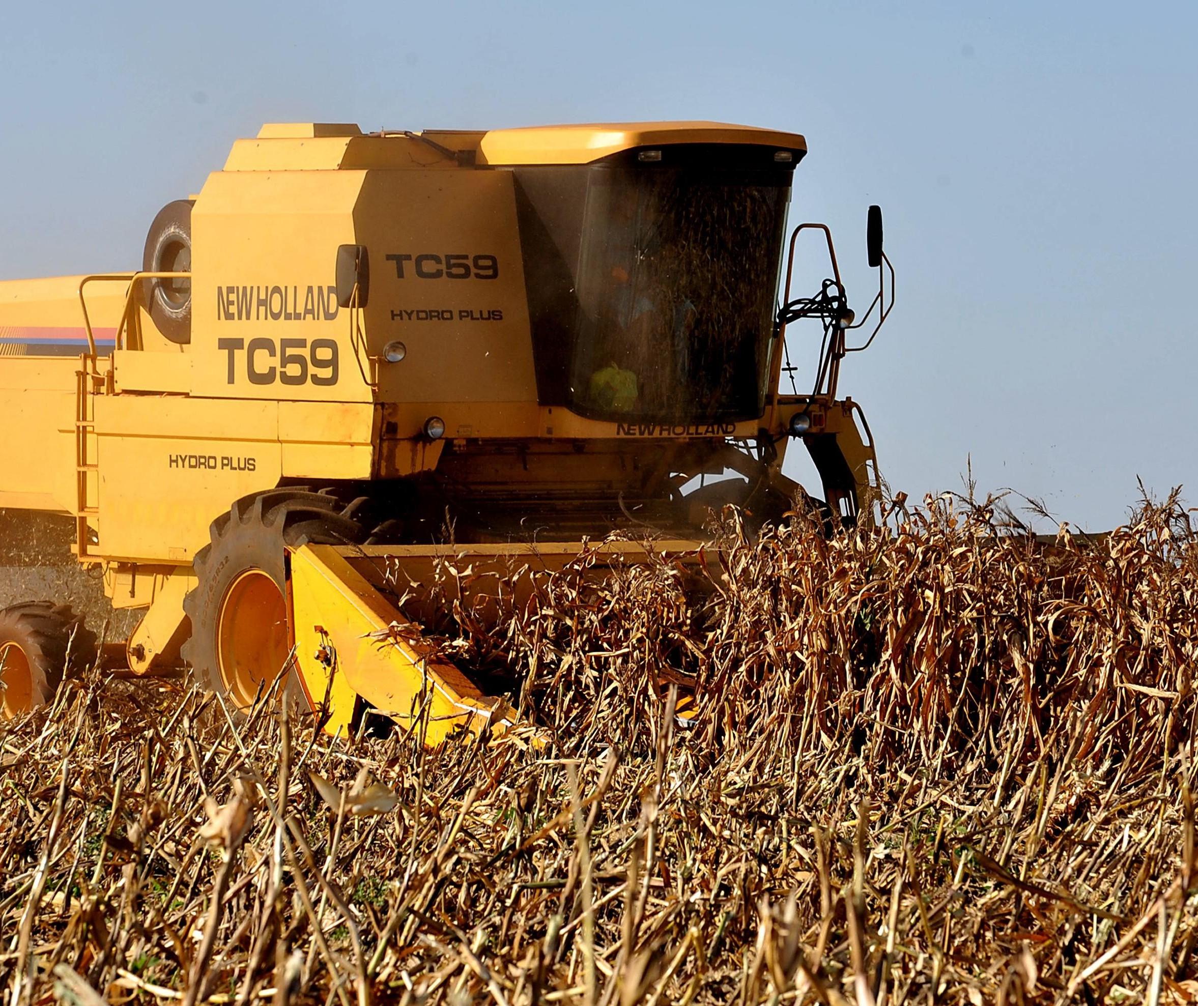 Colheita do milho: produção está em torno de 5 mil quilos por hectare