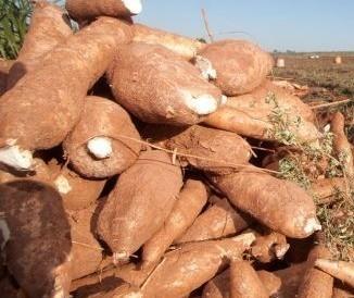 Raiz de mandioca custa R$ 340 a tonelada em média no Paraná