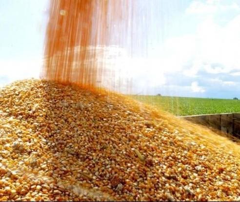 Saca do milho custa R$ 30,50 em Maringá