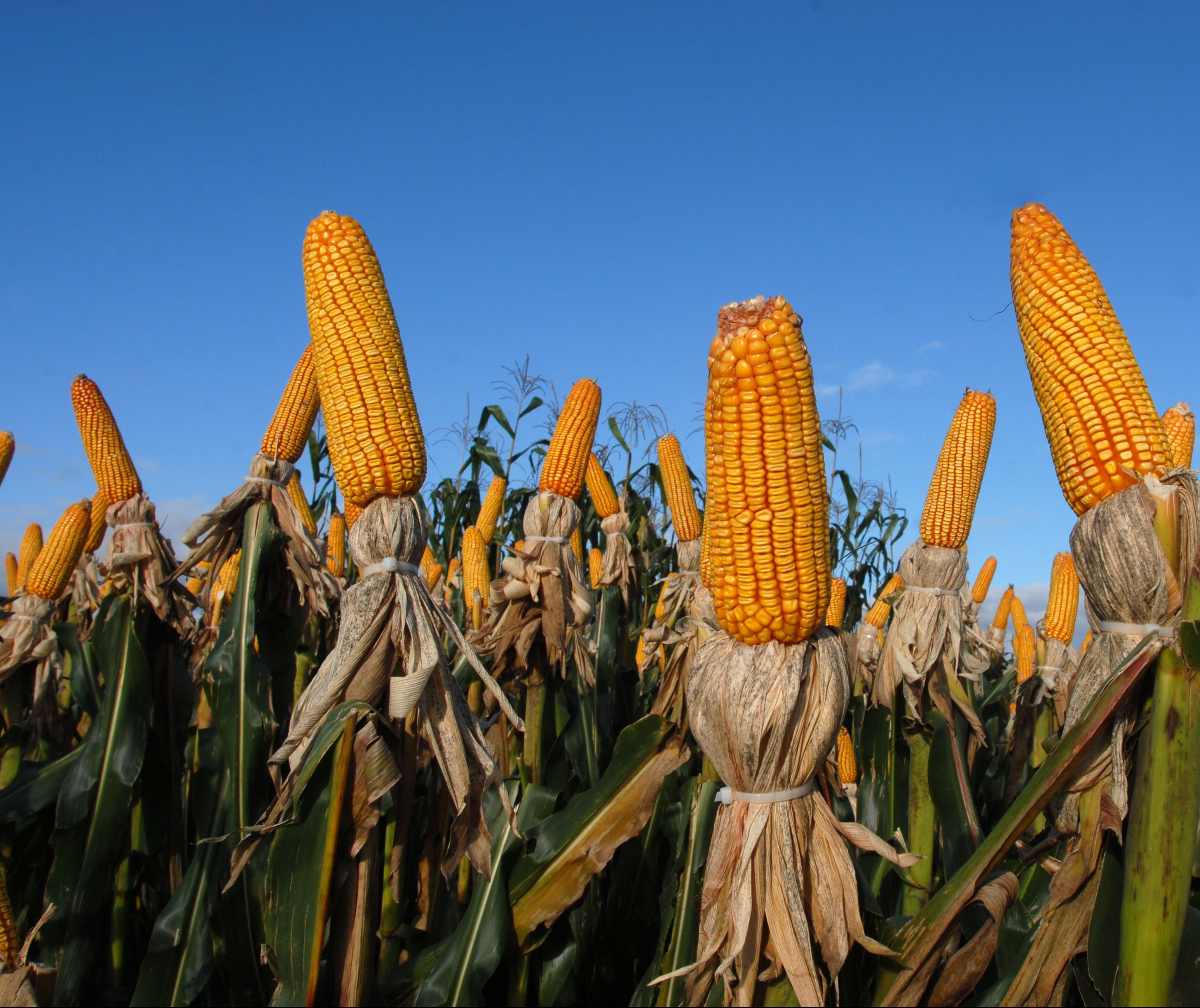 Saca do milho está com tendência de alta, custa R$ 31 em Maringá