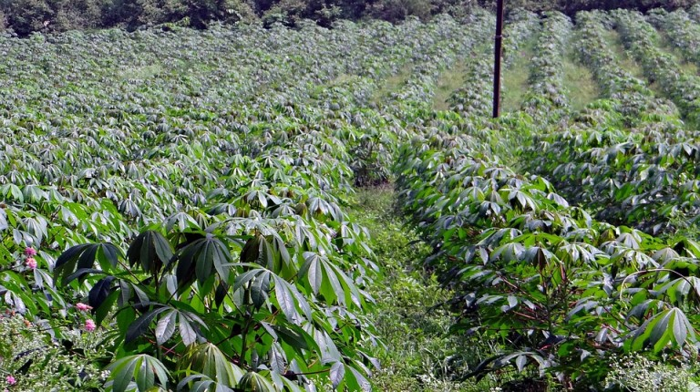 Quantidade de raiz de mandioca processada diminui
