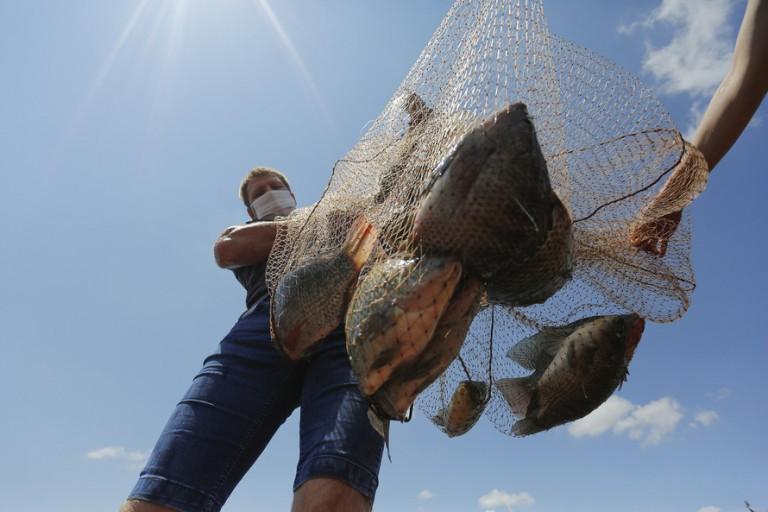 Paraná amplia liderança na produção nacional de tilápias