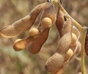 Clima deve atrasar a colheita da soja