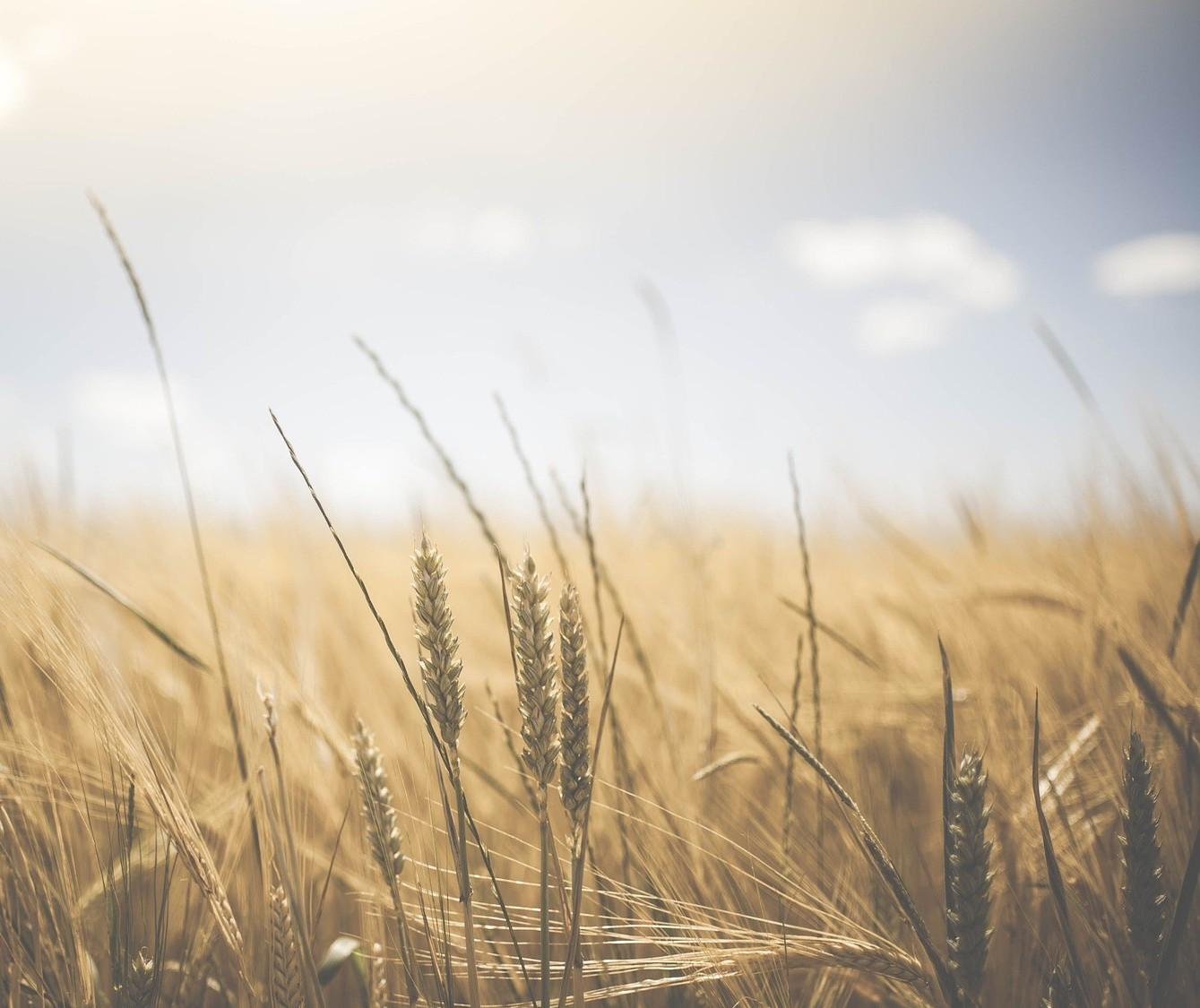 Preços do trigo se mantêm firmes
