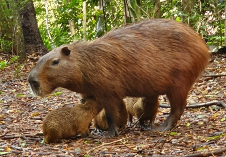 Filhotes de capivara nascem no Parque do Ingá